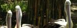 Pelican Bali Zoo Park