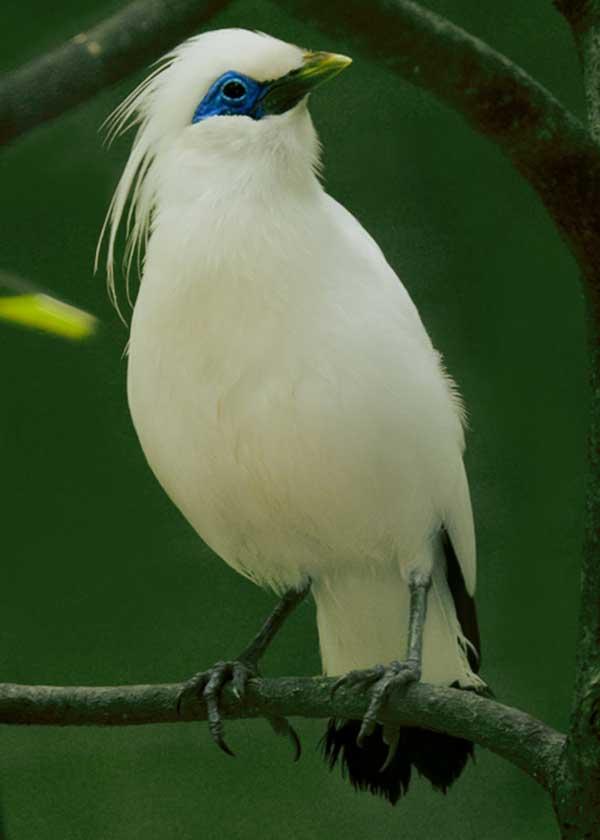 Burung Jalak Bali Si Cantik Dari Taman Nasional Bali