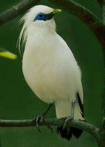 Burung Jalak Bali, Si Cantik Dari Taman Nasional Bali B