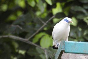 Burung Jalak Bali, Si Cantik Dari Taman Nasional Bali Barat